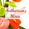 Anthurium Mixes